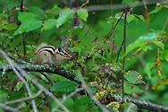 Siberian Chipmunk, Tamias sibiricus,sitting on a branch, Wu Ying District Nature Reserve, near Yichun city, Heilongjiang Province, China