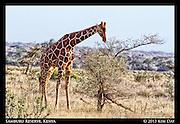 Feeding Giraffe<br /> Samburu National Reserve, Kenya<br /> September 2012