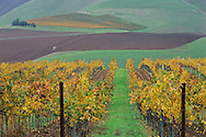 Hills and Vineyards in fall, Cambria Winery, near Santa Maria, Santa Barbara County, California