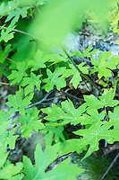 Broadleaf maple. Washington