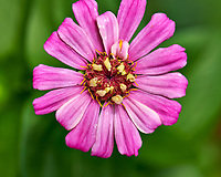 Pink Zinnia Bloom. Image taken with a Nikon D850 camera and 105 mm f/105 reportably at high end.