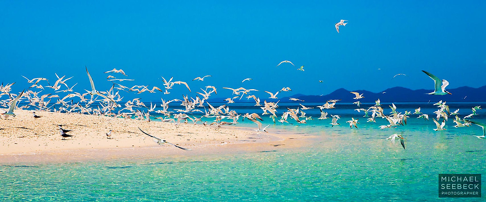 Crested Terns fly en masse from a beach on the Frankland Islands, Great Barrier Reef<br /> <br /> Open Edition Print