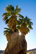 Sunlight through Desert Fan Palm trees (Washingtonia filifera) at 17 Palms Oasis, Anza Borrego Desert State Park, San Diego County, California