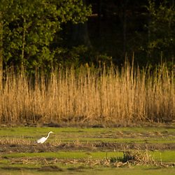 A great egret, Ardea alba, in a salt marsh at the Strawberry Hill Preserve in Ipswich, Massachusetts.