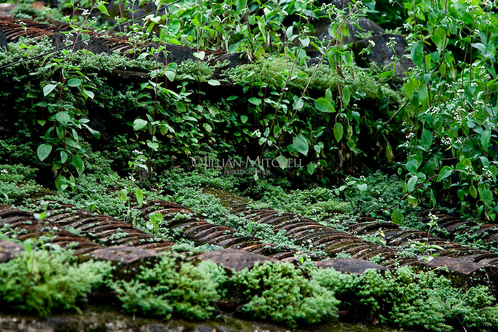 An old tiled roof covered in moss and plants in the old town of Hoi An, Vietnam.