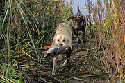 A old yellow lab retrieves a duck while being closely followed by a six-month-old chocolate lab pup, during a Manitoba Waterfowl Hunt