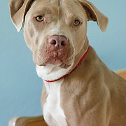 20130518 Pit Bull Terriers