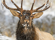 Close-up portrait of a confident Bull Elk in the snow