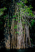 Rainforest landscape: New River, mangroves near Lamanai.
