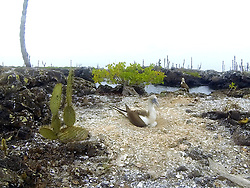 Blue-footed Booby On Nest, Isabela Island