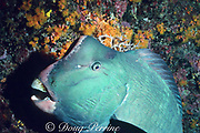 giant bumphead parrotfish, Bolbometopon muricatum, sleeping in coral crevice at night with symbiotic shrimp picking off parasites near mouth, Sipadan Island, Sabah, Borneo, Malaysia ( Celebes Sea, Western Pacific Ocean )