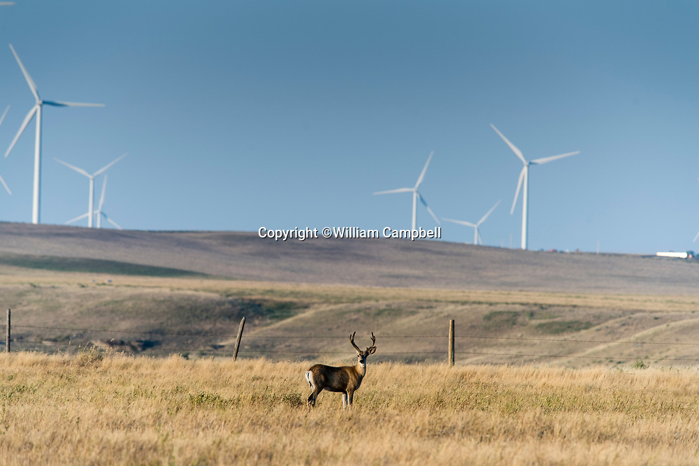 KEVIN,MT-JULY,31: Deer in front of wind turbines on private working ranch land near Kevin, MT on July 31,2017. The Rim Rock Wind Farm is operated by NaturEner USA with 126 wind turbines over 21,000 acres of private land. The wind farm generates 189 MV, enough electricity per year for 60,000 households. The Acciona AW 77 1.5 MV turbines are 262 feet tall. Each blade is 118 feet long. (Photo by William Campbell-Corbis via Getty Images)