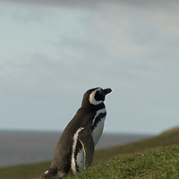 Magellanic penguins at a major rookery on Magdalena Island in the Strait of Magellan, Chile.