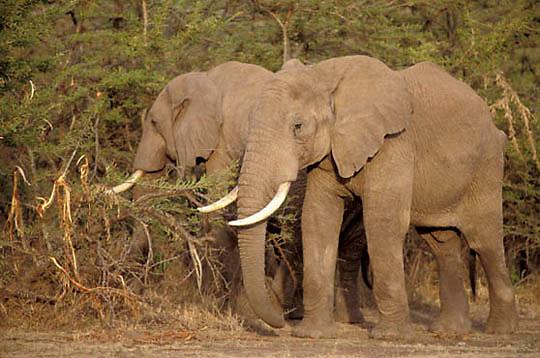 African Elephant, (Loxodonta africana)  Browsing on acacia trees. Masai Mara Game Reserve. Kenya.