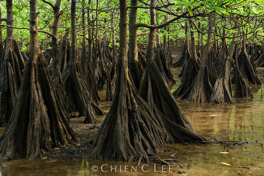 Tea Mangrove (Pelliciera rhizophorae) showing buttress roots for stability in the intertidal zone. Utría National Natural Park, Chocó, Colombia.