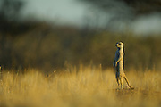 Die erwachsenen Tiere einer Gruppe von Erdmännchen (Suricata suricatta) wechseln sich damit ab, Wache zu halten. In der typischen, namengebenden Körperhaltung suchen sie die Umgebung nach den Freßfeinden, hauptsächlich Schakalen und Adlern, ab um im Notfall Alarm zu schlagen. |  Adult Suricates or Slender-tailed Meerkats (Suricata suricatta) take turns at keeping watch for the rest of the group. In the typical upright position the guard scans the periphery for predators as jackals or eagles to give an alarm call if necessary.