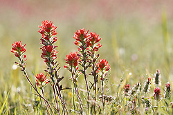 Indian paintbrush in field near Red River, Denison, Texas, USA.