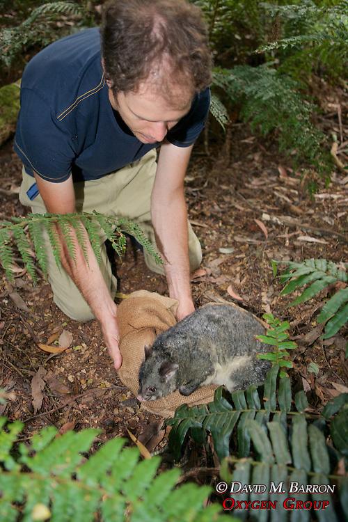 Sam Banks Releasing Mountain Brushtail Possum