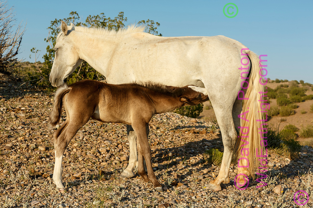 Mustang mare nursing filly in hilly arid land in the New Mexico landscape near Placitas. Horses roaming free on land near Placitas have long been referred to as the Placitas wild horses. © David A. Ponton