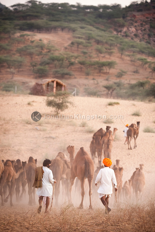 Desert nomads lead their herd of camels up a sand dune in India.