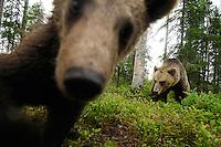 Eurasian Brown Bear, Ursus arctos.Kuhmo, Finland