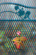 Autumn leaves rest on a garden chair, November, private residence, Tacoma, Washington, USA