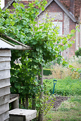 Vine on shed at Green and Gorgeous
