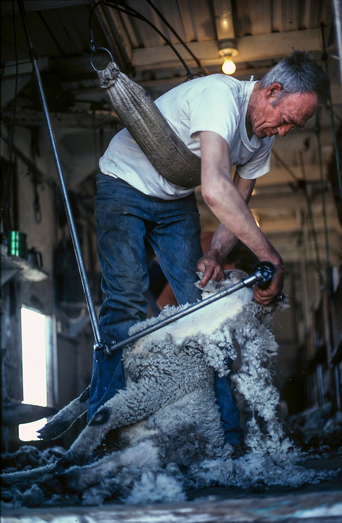 Bob Baptie shears sheep in a back supporting sling at the end of the spring season when wool is thickest from winter months.  Licensing and Open Edition Prints.