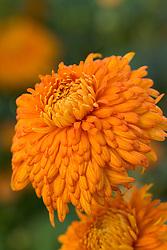 Chrysanthemum 'Kate Harding'
