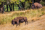 A pair of American bison (Bison bison) walk down the edge of a forested hillside into a meadow. Bison are also known as American buffalo.
