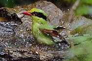 Common Green Magpie, Cissa chinensis, taking a bath in Hong Bung He, Dehong, Yunnan, China