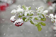 Middletown, New York - A flower bends under the weight of wet snow during a snowstorm on Oct. 29, 2011.