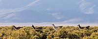 LLAMAS (Lama glama) EN LA PUNA, PROV. DE JUJUY, ARGENTINA