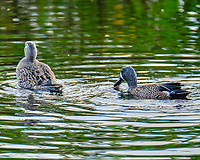 Blue-winged Teal (Spatula discors). Merritt Island National Wildlife Refuge. Image taken with a Fuji X-T2 camera and 100-400 mm OIS lens.