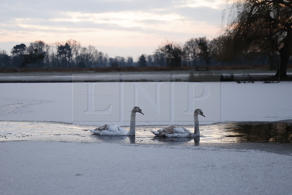 © Licensed to London News Pictures. 11/02/2021. London, UK. Swans navigate pond ice at a freezing Bushy park in south west London. Overnight temperatures reached -5C in parts of the south east. Photo credit: Peter Macdiarmid/LNP