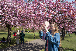 © Licensed to London News Pictures. 24/04/2021. London, UK. A woman takes a photograph in an avenue of cherry blossom trees during sunny weather in Greenwich Park in south east London. Temperatures are expected to rise with highs of 16 degrees forecasted for parts of London and South East England today . Photo credit: George Cracknell Wright/LNP