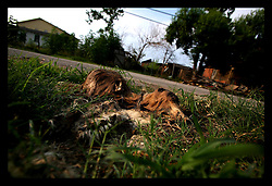 23 June, 2006. New Orleans, Louisiana. Dead Dog. Lower 9th ward. The remains of a dead dog rot into the polluted earth of the Lower 9th ward. Many dog continue to run wild in the derelict neighbourhood.