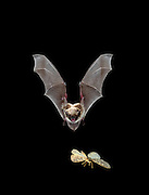 A female yuma myotis (Myotis yumanensis) pursuing a moth on the wing. Bats catch their prey in the wing membrane and then scoop it into their mouth. digital composite.