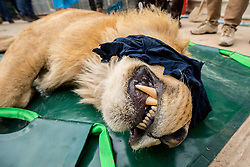 March 30, 2017 - Mosul, Nineveh Province, Iraq - SIMBA lies tranquilized while awaiting transfer to a cage that will carry him from the Mosul Zoo. A lion and a bear, just rescued from Mosul's zoo, are prepared to fly to safety outside Iraq and into Erbil, Kurdistan. The two animals nearly starved to death in their cages while battle raged around them in the Iraqi city earlier this year. Several other animals at the zoo died from neglect but these two were finally rescued by the animal charity Four Paws. (Credit Image: © Gabriel Romero via ZUMA Wire)