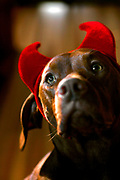 SHOT 10/31/05 9:25:28 AM - Tanner dressed up in his devil horns for Halloween. The Vizsla is a dog breed originating in Hungary, which belongs under the FCI group 7. The Hungarian or Magyar Vizsla are sporting dogs and loyal companions, in addition to being the smallest of the all-round pointer-retriever breeds. (Photo by Marc Piscotty / © 2005)