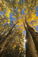 Looking up through a bright canopy of aspens during autumn in Acadia National Park, ME USA