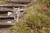 Coyote (Canis latrans) walks on the trail , Mount Rainier National Park, Washington, USA