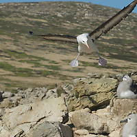 A Black Browed Albatross prepares to land at its nest in a rookery on New Island, in Britain's Falkland Islands.