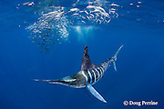 a striped marlin, Kajikia audax (formerly Tetrapturus audax ), that has been caught and released, trails a fishing line leader while feeding on a baitball of sardines or pilchards, Sardinops sagax, off Baja California, Mexico ( Eastern Pacific Ocean )