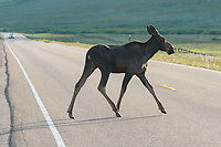 A moose calf crosses Highway 14A while cars approach.