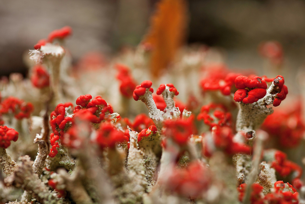 The red apothecia of some species of Cladonia stand out amongst the lichens  on the forest floor. They are abundant in the subartic tundra and perennial.