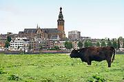 Nederland, Nijmegen, 14-9-2017 Wilde runderen grazen op het Lentereiland, Veur Lent, het eiland dat is ontstaan door de aanleg van de nevengeul tegenover de stad. Natuurbegrazing door het uitzetten van Schotse Hooglanders. De grazers lopen op de oever en houden de begroeing laag en divers. Ze zijn uitgezet door de stichting Taurus die zich ook bezighoudt met het terugfokken van het Europese oerrund, de oerkoe. Foto: Flip Franssen