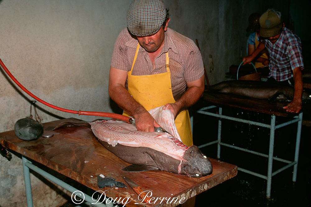 kitefin shark, Dalatias licha, being processed at fish plant, <br /> Pico Island, Azores Islands, Portugal ( North Atlantic Ocean )