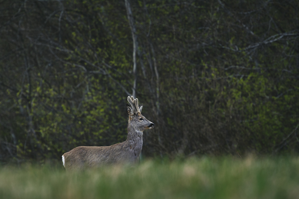 """Roe deer (Capreolus capreolus) buck with velvet antlers crossing meadow with forest in background, nature park """"Kuja"""", Latvia Ⓒ Davis Ulands   davisulands.com"""