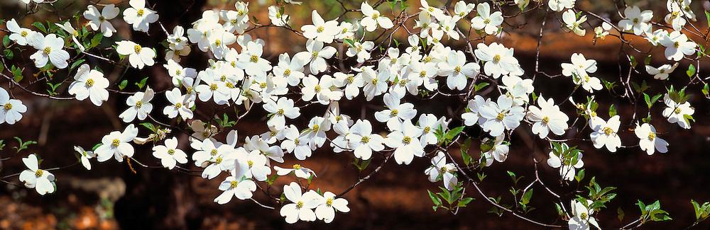 Flowering Dogwood is a Spring favorite at the Botannical Gardens, in Atlanta, Georgia.
